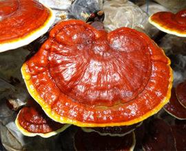Reishi Ganoderma lucidum