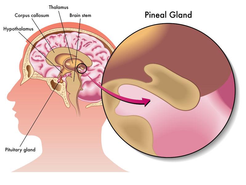 Glande Pinéale Mélatonine